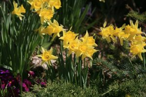 The Friends daffodils